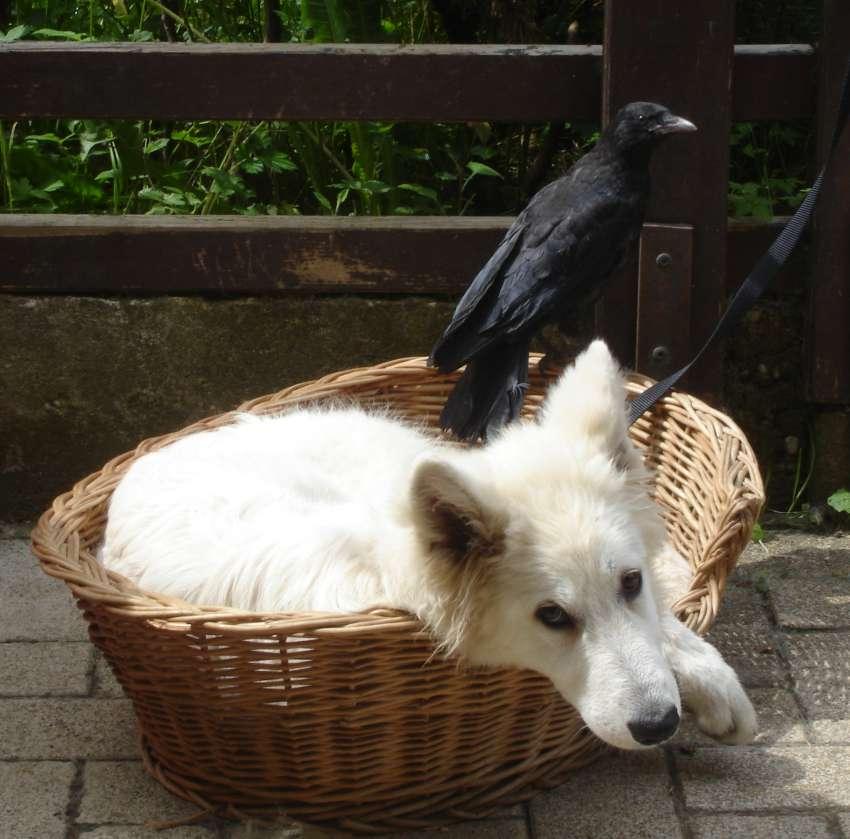 carat et le corbeau