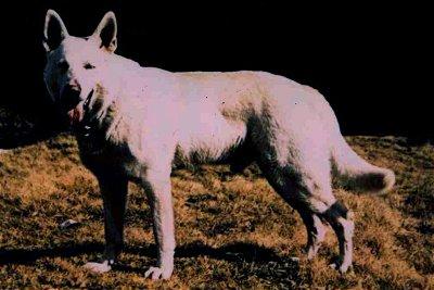 Lobo White Burch